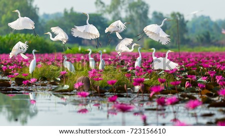 White birds flying on the red lotus field. Royalty-Free Stock Photo #723156610