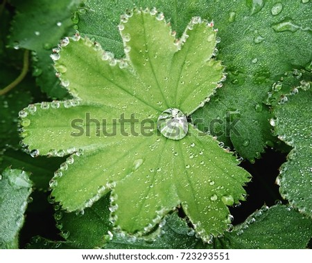 Lady's mantle with a dewdrop #723293551