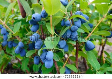 Haskap bush full of berries #723311164