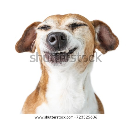 Funny dog disgust, denial, disagreement face. Don't like that. grins  teeth pet. White background #723325606