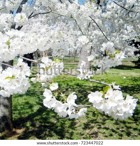 Cherry Blossoms tree in Washington DC, USA #723447022