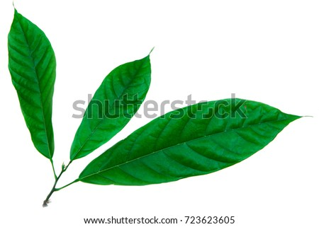 Cacao (Theobroma cacao) leaves of truth on a white background.  #723623605