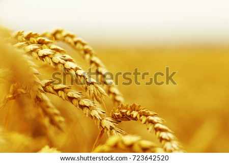 Background of ripening ears of wheat. #723642520