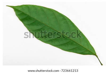 Cacao (Theobroma cacao) leaves of truth on a white background.  #723661213