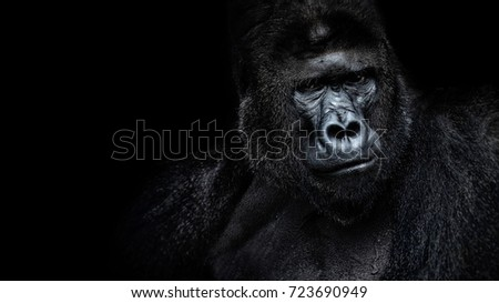 Beautiful Portrait of a Gorilla. Male gorilla on black background, severe silverback, anthropoid ape #723690949