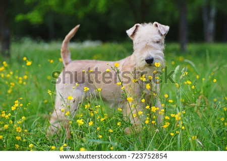 Red Lakeland Terrier dog staying outdoors in a green grass with small yellow flowers #723752854