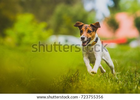 Young Jack Russel Terrier named Blue is running towards the camera in a green environment. #723755356