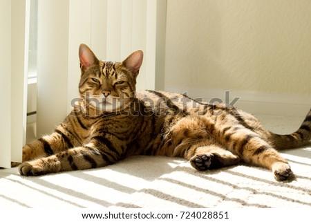 Portrait of a Bengal cat near window - Stock photo