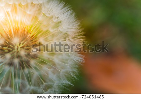Dandelion seed, soft, selective focus with fall color leaves in the background.  Copy space.