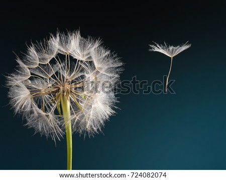 Macro picture of a dandelion with flying a seed on a beautiful turquoise background