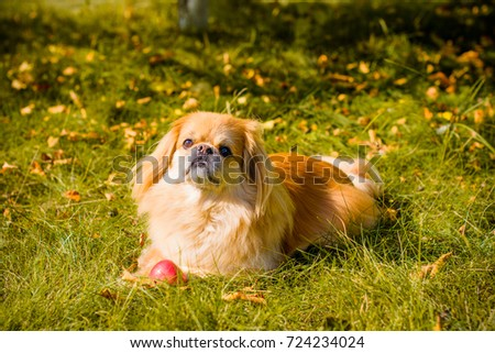 Light red little dog on a countryside walking near garden or field. Pretty mature pekingese on a nature #724234024