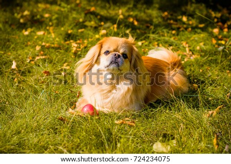 Light red little dog on a countryside walking near garden or field. Pretty mature pekingese on a nature #724234075