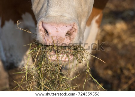 Close up of cow's face eating fodder on farm #724359556