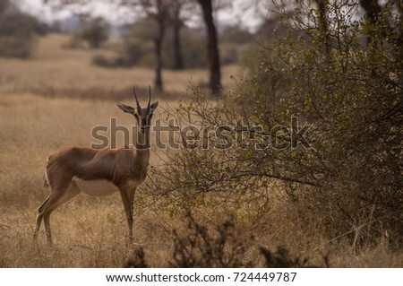 Chinkara (Jabeer Gazelle) in Ranthambore National Park, Rajasthan, India #724449787
