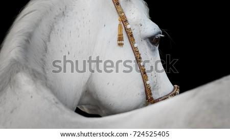 Gray arabian horse closeup on black background isolated Royalty-Free Stock Photo #724525405