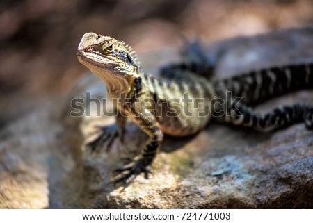 Lizard sitting on brown stone enjoying morning sun. Wildlife in Australia's rainforest, serious looking animal #724771003