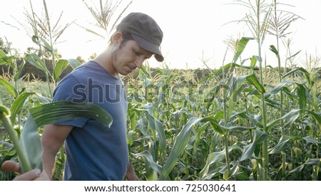 Young farmer checking progress of corn cobs growth on the field of organic eco farm. Man checking corn cob for ripe and pests #725030641