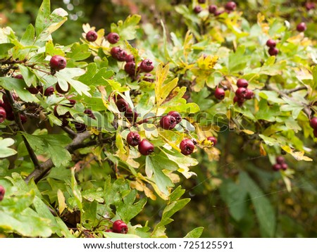 lush red ripe hawthorn berries outside on tree with leaves; Essex; England; UK #725125591