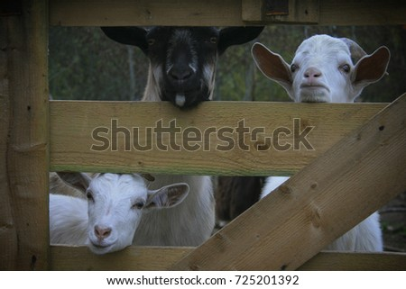 three goats look out the window #725201392