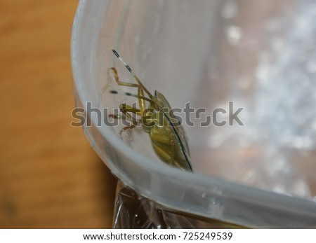 A close-up photograph of a Bronze Orange Bug (Musgraveia Sulciventris) in Brisbane, Australia.
