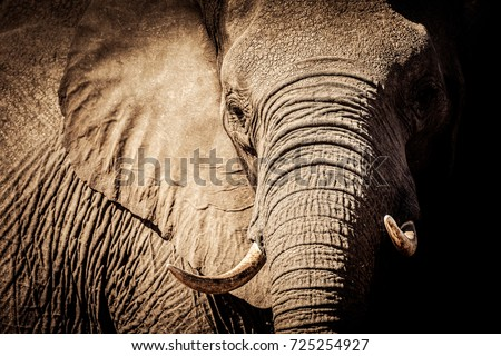 Wild african elephant close up, Botswana, Africa #725254927