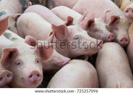 Livestock breeding. Group of pigs in farm yard. #725257096