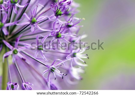 Macro photo of alium flowers #72542266