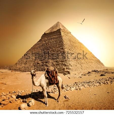 Camel in sandy desert near mountains at sunset. #725532157
