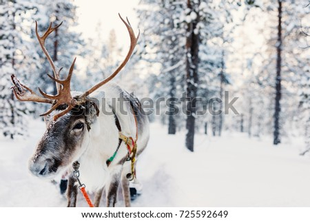 Reindeer in a winter forest in Finnish Lapland Royalty-Free Stock Photo #725592649