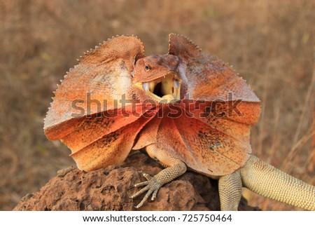 Frilled Lizard (Chlamydosaurus kingii) on termite mound #725750464