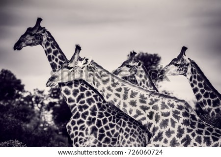 Safari, portrait of a beautiful giraffes family, black and white photo of a gorgeous big animals, wildlife photography, exotic nature of South Africa #726060724