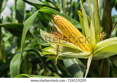 fresh corn on stalk in field #726119209