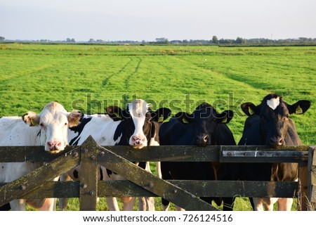 Cows on a farm Royalty-Free Stock Photo #726124516