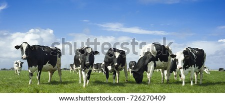 Holstein Friesian (black and white) cows in a field.  Royalty-Free Stock Photo #726270409