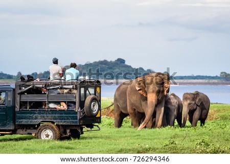 Elepahants safari in Minneriya, Sri Lanka - Mother asian elephant protects here baby elephants from tourist safari jeep in Minneriya National park near Kaudulla park and Dambulla. Safari in Sri Lanka. #726294346