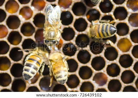 closeup of bees on honeycomb in apiary  #726439102
