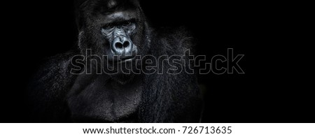 strongman. Portrait of a male gorilla on a black background, severe silverback, Grave look of the great ape, the most dangerous and biggest monkey of the world. The chief of a gorilla family. APE  #726713635
