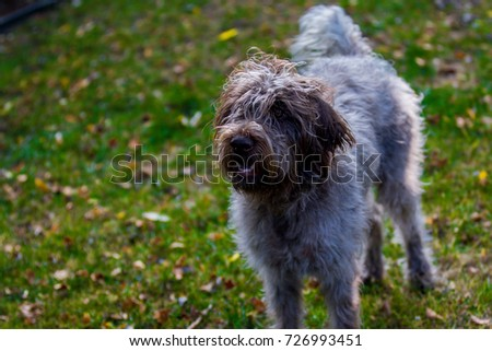 Wirehaired pointing griffon at 1 year old #726993451