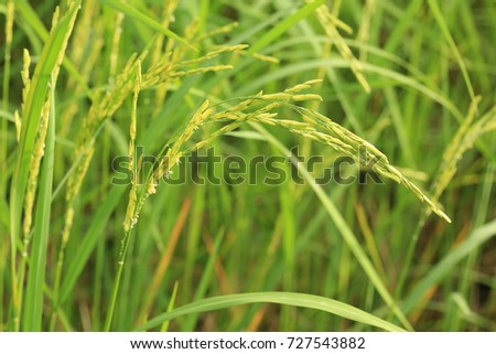 Close up of green paddy rice. Green ear of rice in paddy rice field under sunrise, Blur Paddy rice field in the morning background #727543882