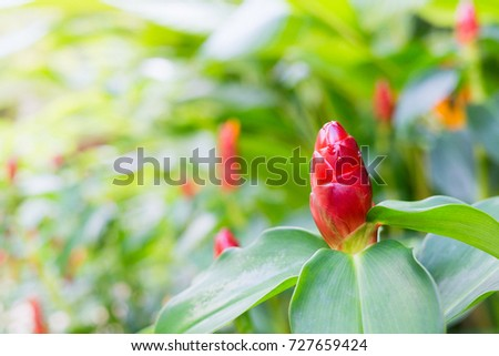 close up of Indian Head Ginger flowers,Costus Speciosus #727659424