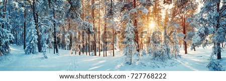Pine trees covered with snow on frosty evening. Beautiful winter panorama #727768222