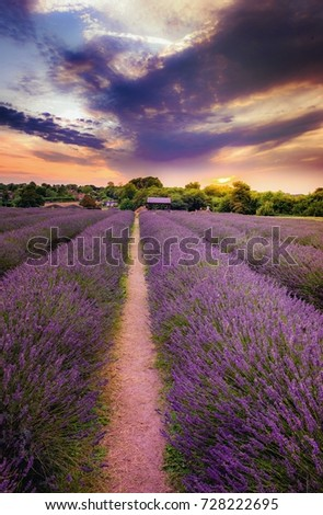 Lavender Field at Sunset with Purple Sky #728222695