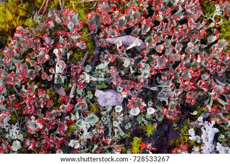 Layer of lichen Cladonia coccifera with apothecia in autumn forest, Karelia, Sortavala #728533267