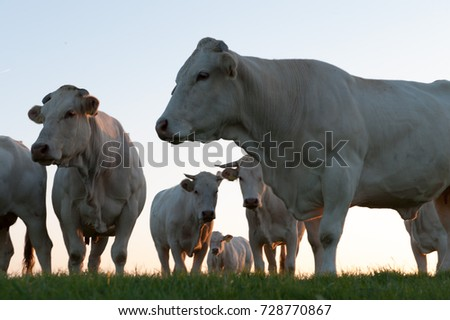 Cows grazing at the mudflats near the Waddenzee in the north of the Dutch Province of Friesland. This area is also known as it Noarderleech. #728770867