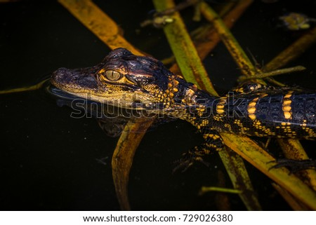 Baby aligator. Portrait of the Aligator in Everglades National Park, Florida, US. Aligators, baby and adult ones in wild, close to the people. On the grass or in the water. Close encounter.  #729026380