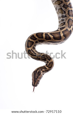 Close up of tiger python (Python molurus, Burmese Python) on white background isolated, a lot of copyspace available, macrophotography #72917110