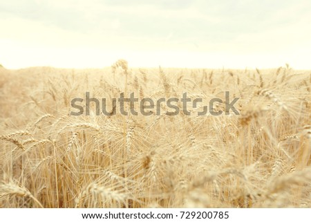 Field with mature yellow wheat. Spikelets of wheat on the field. #729200785