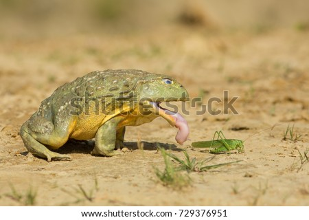 African bullfrog is carnivorous and a voracious eater, eating insects, small rodents, reptiles, small birds, and other amphibians. It is also a cannibalistic species. #729376951