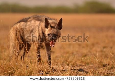 Indian striped hyena yawning