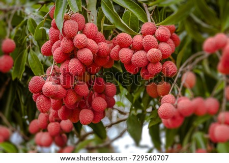 Ripe lychee fruits on tree in the plantation #729560707